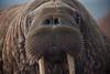 Walrusmaster