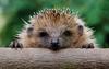 AngryHedgehog