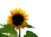 sunflowers_AI