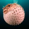 mrpufferfish