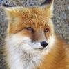 Foxitarian