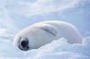 Fool Seal