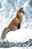 the moxy fox