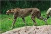 Voting Cheetah