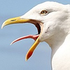 Seagull3700