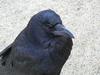 Fuyuzaki_Crow