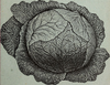 incidental_cabbage