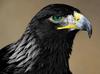 Corvus Crowford