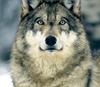 Boxwolf