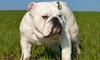 Raza_bulldog