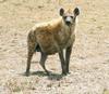 HyenaMorph