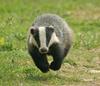 Syrup Badger