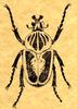 Goliathbeetle