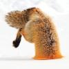 G Fox