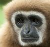 Gibbon Man