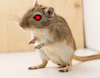 builder_gerbil