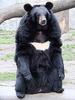 Azuki-Bear