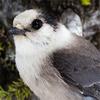 GreyJaybird