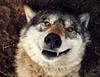 Swearwolf