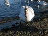 Murder Swan