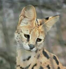 RieServal