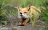The Mystic Fox