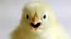 Chickenpeep
