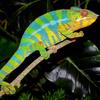 Chameleon X