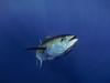 a cool tunafish