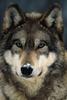 wolf20482