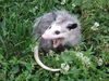 hungrypossum