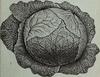 incidental_cabbage