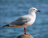 not_a_seagull