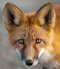 FoxxoFreak