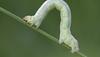 MegalomaniacInchworm
